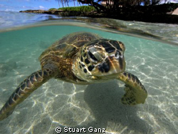 Hawaiian green sea turtle &quot;Honu&quot; by Stuart Ganz 